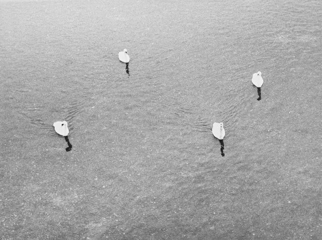 Jochen Lempert, Untitled (four swans), 2006