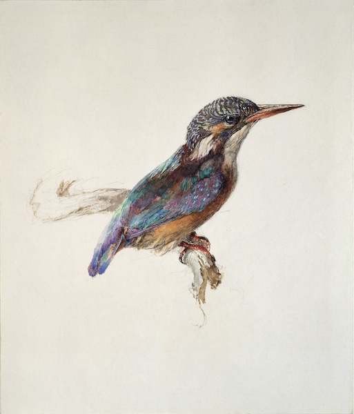 John Ruskin, Study of a Kingfisher