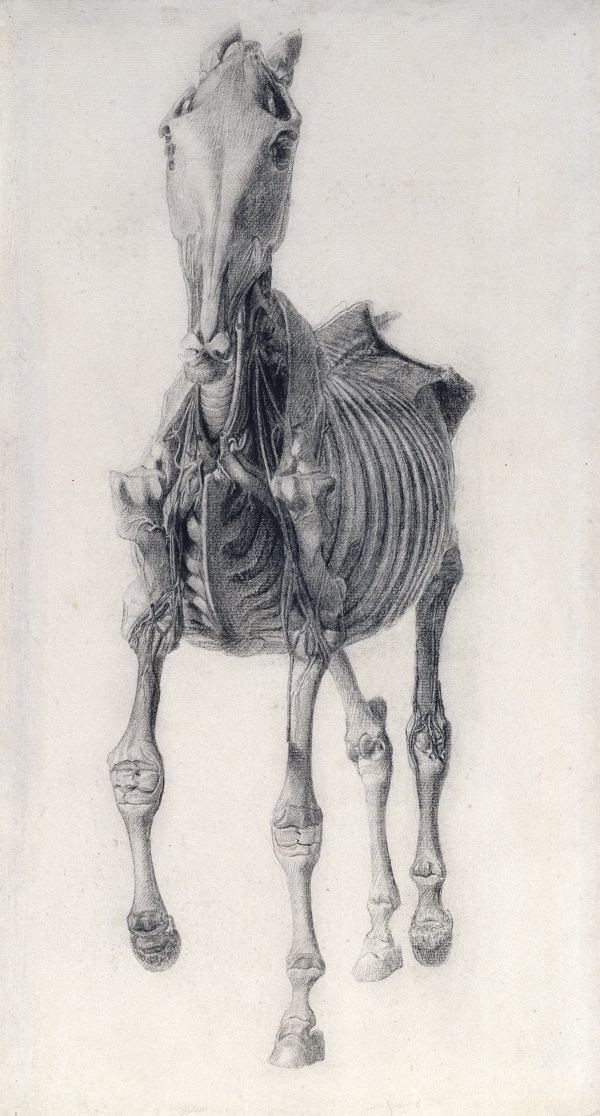 George Stubbs,  'Finished study for 'Anatomy of the Horse: 10th anatomical table',  1756-58, Pencil on laid paper © Royal Academy of Arts, London