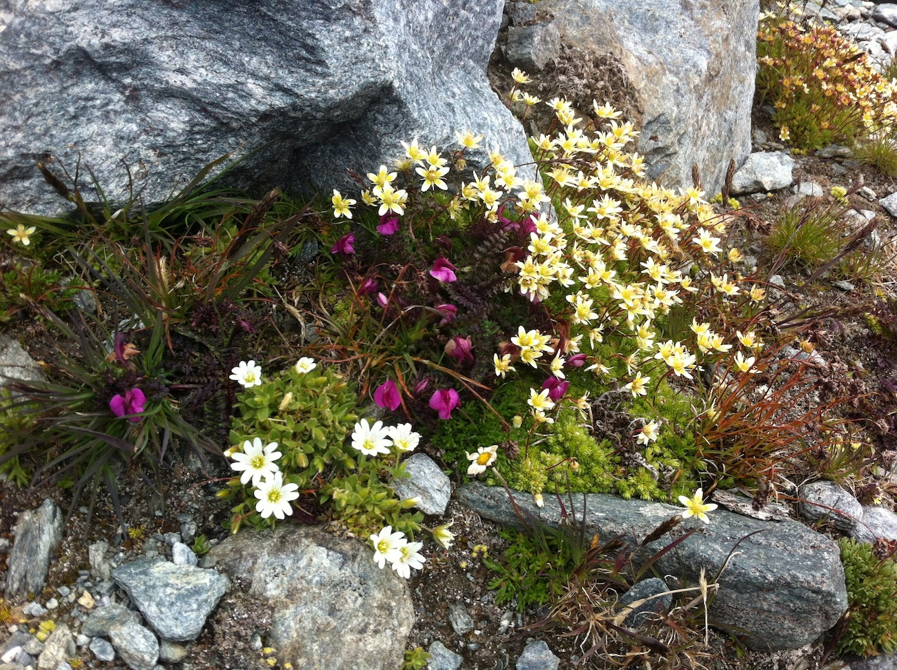 alpine flowers verbier